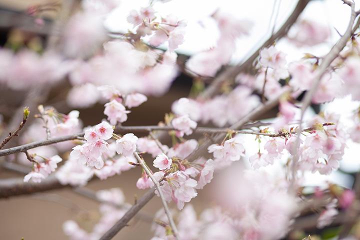 寒桜 今宮神社 前撮り